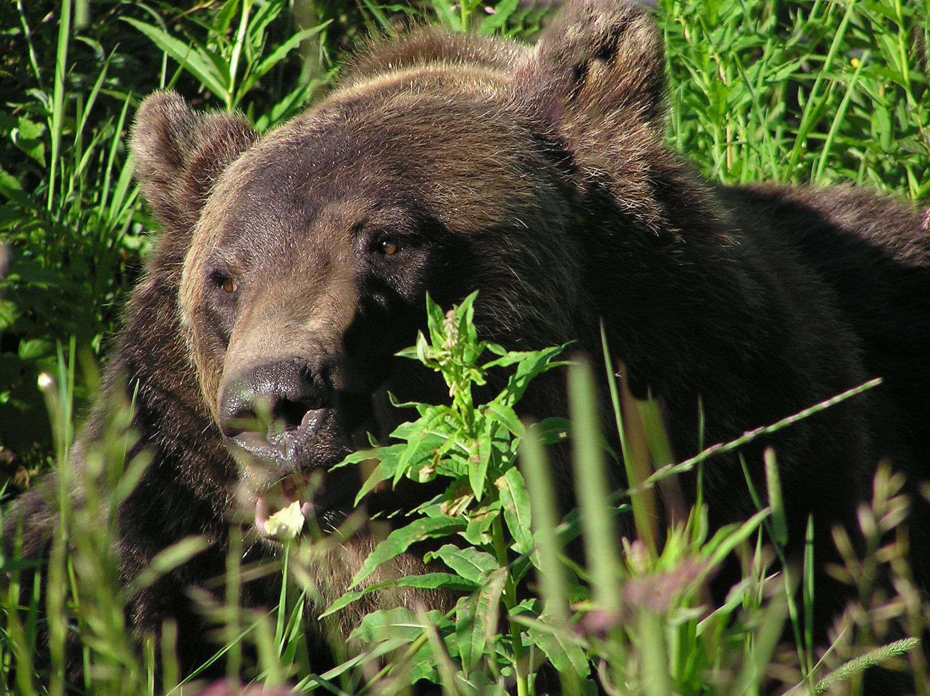 The photographs of brown bear, grizzly bears and black bears for your computer desktop wallpaper were taken with a digital camera