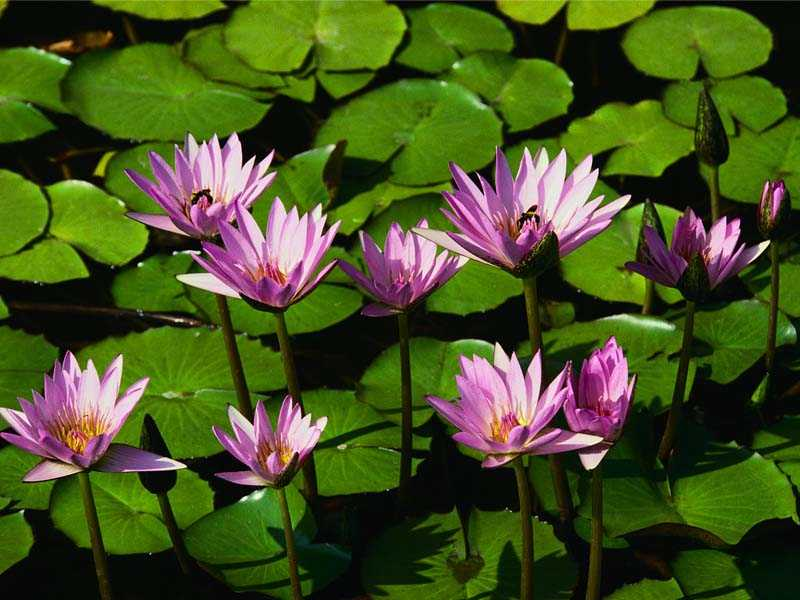 You can by Water lilies from garden centres, nursery & seed cataolgues.